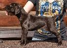 deutsch kurzhaar puppies, german shorthaired pointer puppies